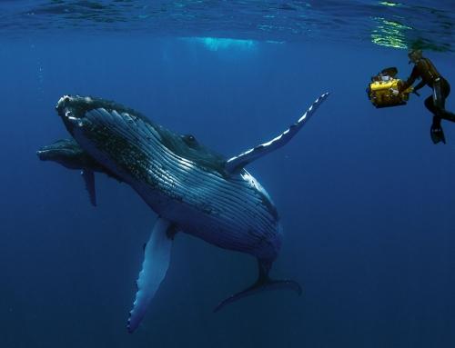 Nardymas su kuprotaisiais banginiais Reunion'e