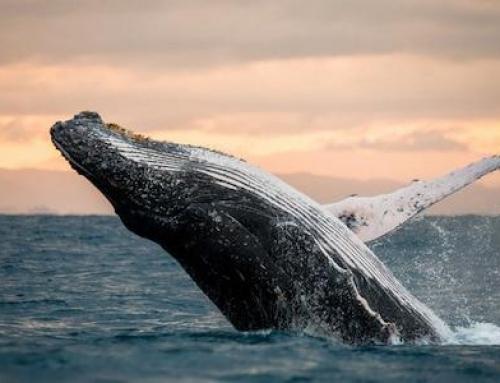 Nardymas su banginiais ir orkomis Norvegijoje